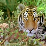 IMAX film has an eye for the 'Tiger'