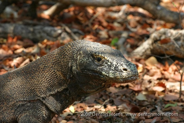 Komodo Dragon Attacks Tour Guide